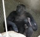 【画像】動物園の母ゴリラ、子供が死んだことを受け入れられずに死体を持ち歩く