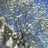 『こぶしの花』の画像