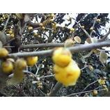 『蝋梅の季節』の画像