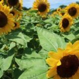 『ひまわり🌻ヒマワリ🌻向日葵🌻~大阪市立長居植物園』の画像