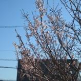 『春の到来~唐実桜~』の画像