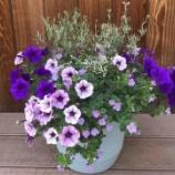 『サフィニアでアンティークな寄せ植え【おうちでお花見】初夏に向けたコンテナガーデンの作り方』の画像