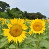 『長崎鼻リゾートの向日葵』の画像