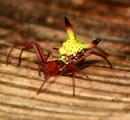 お尻がピカチュウのクモ、ゲットだぜ