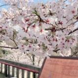 『今年も桜がきれいですね〜』の画像