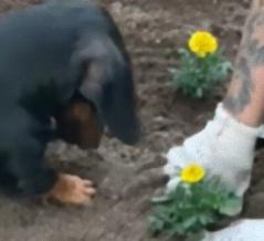 お庭で急に穴掘り開始~!ダックスフントによるガーデニングのお手伝い