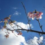 『桜開花!』の画像