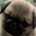 子イヌがちょこんと座っていた。飼い主さんの声が響く。わぅん? → パグの子犬はこうなります…