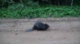 ビーバーと写真を撮ろうとした釣り人、襲われて死亡…ベラルーシ