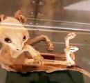 ミュウ?ミュウツー?牙を持ち、鞭のような尻尾を持つ謎のミイラが出土される