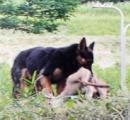 シカ襲う大型の野犬、再び目撃 京都・宇治田原で注意呼び掛け