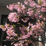 『桜満開♪』の画像