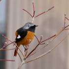 『わかると楽しい野鳥観察「ピノ子流」野鳥の見つけ方見分け方【冬の鳥編】』の画像