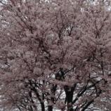 『さくら咲きました。』の画像