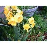 『水仙はどこを向いて咲く』の画像
