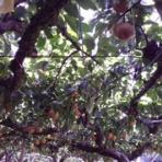 呉羽梨ドットコム(幸水・豊水・新高)・梨園・梨農家からの甘くて新鮮な梨、笑顔の食卓にお届けしています♪