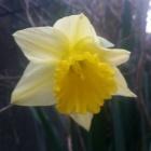『(´・ω・`)ラッパ水仙の開花』の画像