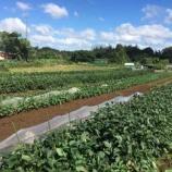 『ブロッコリー苗を植え、おおまさりを収穫』の画像