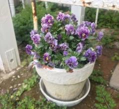 *切り戻したビオラに花が咲き始めました|4月のビオラ
