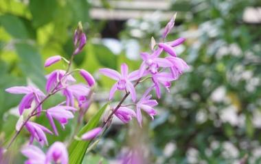 『私がおすすめする狭い庭でも扱いやすく丈夫な宿根草【庭植え編】』の画像