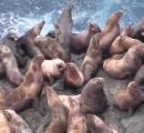 増えたトドが島を占拠  稚内の漁業被害額16億円超。トドは皮膚が厚く羆を殺せる12GAの銃でも倒せない