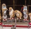 サーカスのトラたちが太り過ぎて動物愛護団体とネットから批判 「動物を客じゃなく獣医に診せろ!」