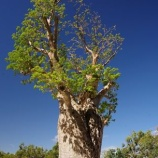 『バオバブの木の危機』の画像