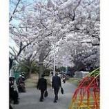 『桜情報』の画像