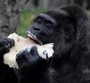 欧州最高齢のゴリラ(ファトゥ)が61歳に、バースデーケーキをホール食い ベルリン動物園