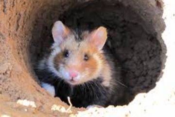 ハムスターは元々土の中に巣を作る生き物 土飼育している人いますか?