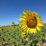 『南仏 ラベンダーツアー ほかの花も』の画像