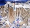 宅配便の荷物の中を開けたら生後2ヶ月の子トラが発見される!