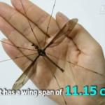 【動画】中国、世界最大級の「蚊」が発見される!体長5cm、羽を広げると11.15cm! [海外]