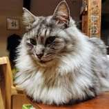 『なんか小型のライオンのようになってきたけどガチガチの雑種です(笑)』の画像