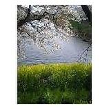 『千鳥ケ淵のさくらと菜の花』の画像