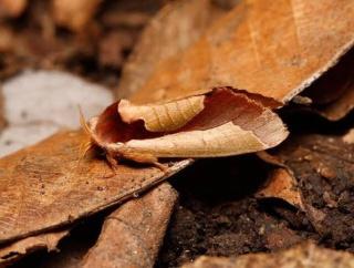 【悲報】進化論さん、蛾に完全論破されるwww