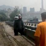 【動画】中国、洪水で流され漂流した重慶のくまモン、救助され元の場所に帰還