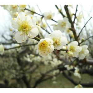 娘 大阪城公園に梅の花を見に行く