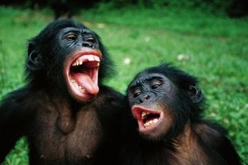 ボノボの驚くべき知能! チンパンジーとボノボの違いとは・・・