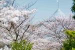 桜の街、交野さんぽ・みちくさ 〜コモンシティー編〜