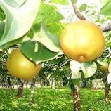 『梨』の画像