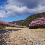 『河津桜と河川法改正、足立区の五色桜の復活』の画像