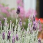 『丈夫な植物で飾る5月の庭と植え付け時期で変わるシラーの花』の画像