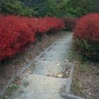 『【植物】ツツジの紅葉【写真あり】』の画像