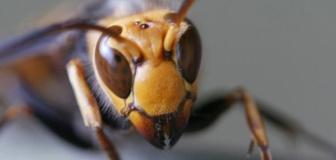 新型コロナに続き「殺人バチ」上陸で…アメリカSNSが大騒動 日本では年間50人が刺されて死んでいる
