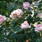 『【ピノ子日記】庭の植物たちの様子』の画像
