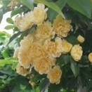 モッコウバラが咲き出しました