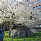 『いつか行きたい日本の名所 石割桜』の画像