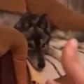 犬がソファでくつろいでいた。飼い主が指鉄砲を向けて、バン! → 結果…