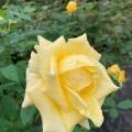 旧古河庭園のバラが見頃だニャ~!